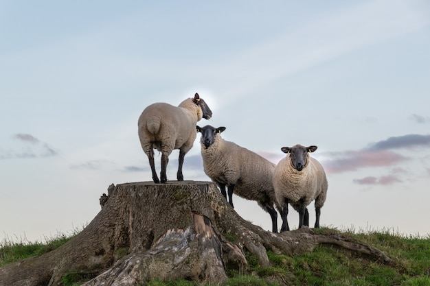 Group of sheep resting on large stump