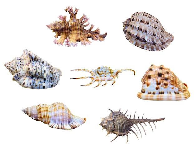 바다 달팽이의 그룹 껍질은 오려낸 경로가 있는 흰색 배경에 격리된 해양 복족류 연체동물입니다.
