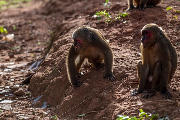 Group of stump tailed macaque, bear macaque (macaca arctoides) eat and rest during a quiet sunny evening at phetchaburi province, khao kapook khao tormoor non hunting area, thailand