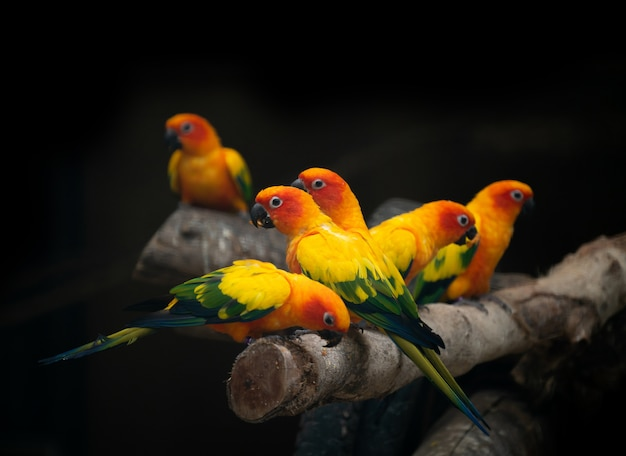 Group of sunconure parrot bird
