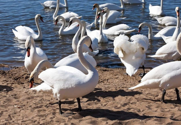 Group of swans in the spring, beautiful waterfowl group swan bird on the lake in the spring, lake or river with swans that came ashore, closeup