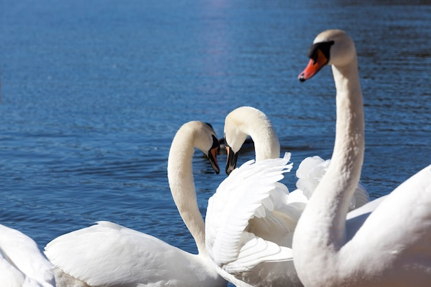 Group of swans in spring, beautiful waterfowl group swan bird on the lake in spring, lake or river with swans