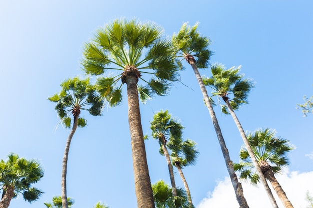 Group of tall palm trees bottom view