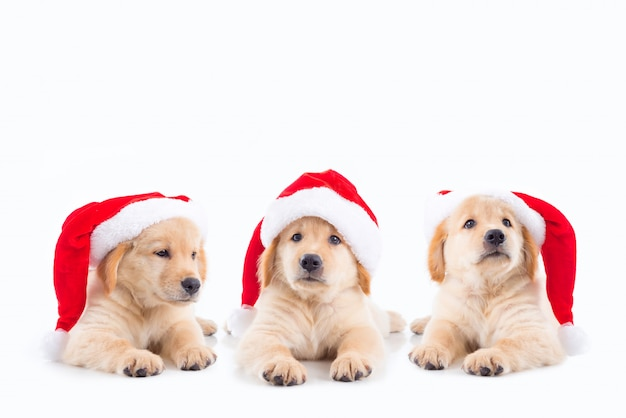 Group of three little golden retriever dogs wearing christ mas hat over white background