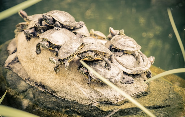 Group of turtles on a rock
