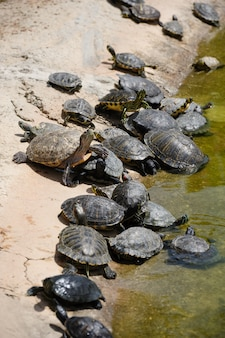 Group of turtles at water edge