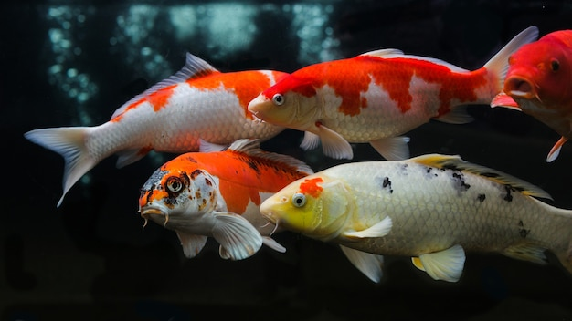 Group of various koi fish isolated on black background