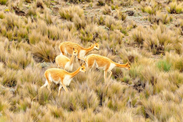 A group of vicunas