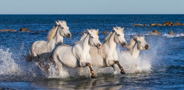 A group of white camargue horses running in the water