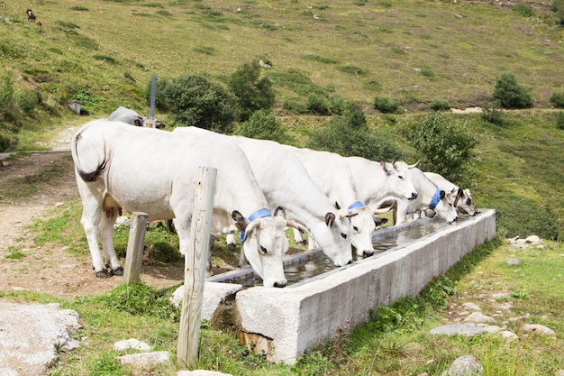 A group of white cows drinking water in a drinking through in the mountains