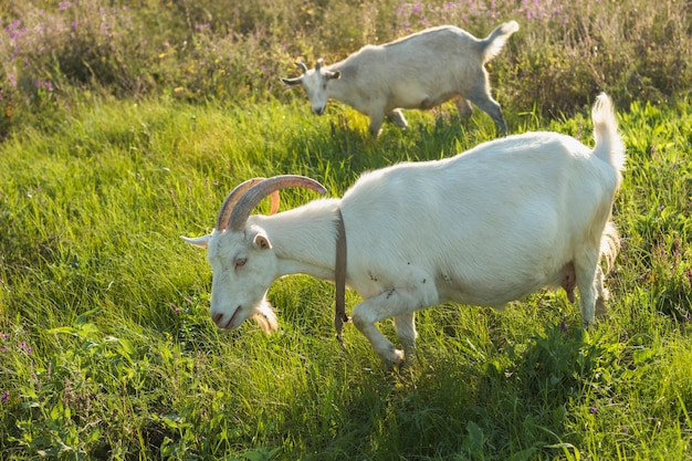 Group of white goats at farm eating