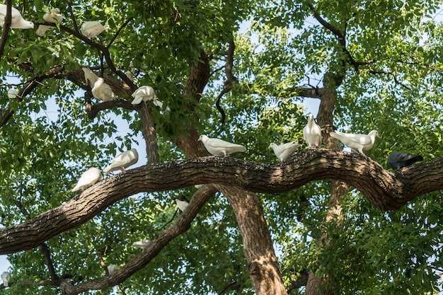 A group of white pigeons in the tree