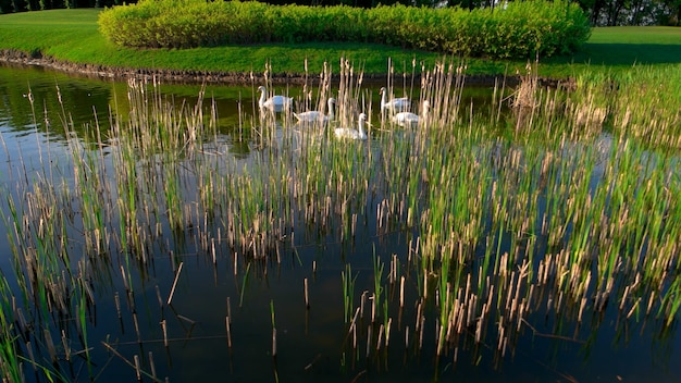 Group of white swans floating on pond. summer lake with peaceful floating swans. beautiful sunny day.