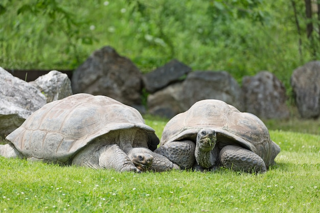 Group of wild galapagos tortoises on green grass