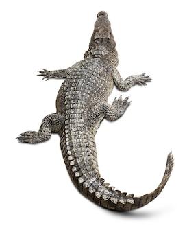 Group of wildlife crocodile isolated on white background