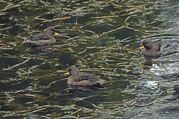 Group of yellow-billed ducks swimming at a lake in south america