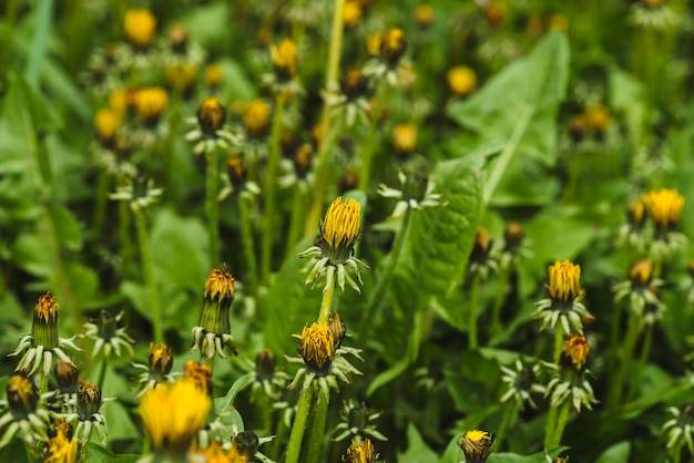 Group of yellow dandelions on green lawn.