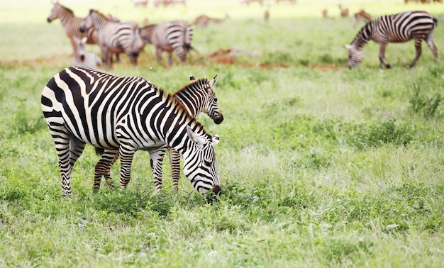 Group of zebras grazing in tsavo east national park, kenya, africa