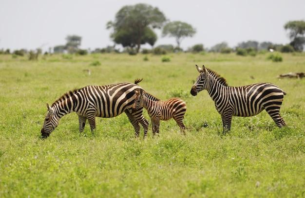 Gruppo di zebre al pascolo nel parco nazionale orientale di tsavo, kenya, africa