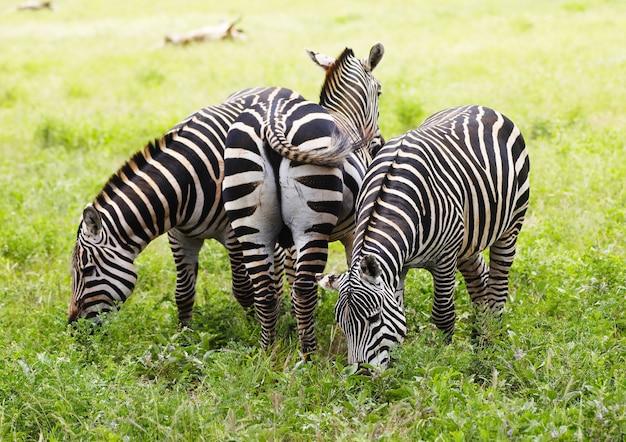Gruppo di zebre che pascolano nel parco nazionale orientale di tsavo, kenya, africa