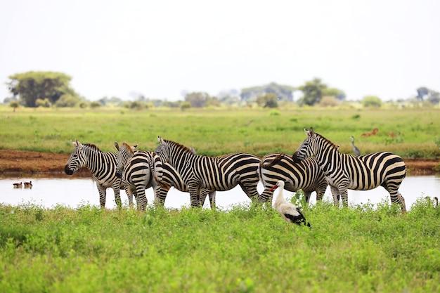 Gruppo di zebre e una cicogna bianca nel parco nazionale orientale di tsavo, kenya, africa