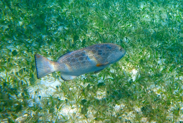 Grouper fish in riviera maya at caribbean