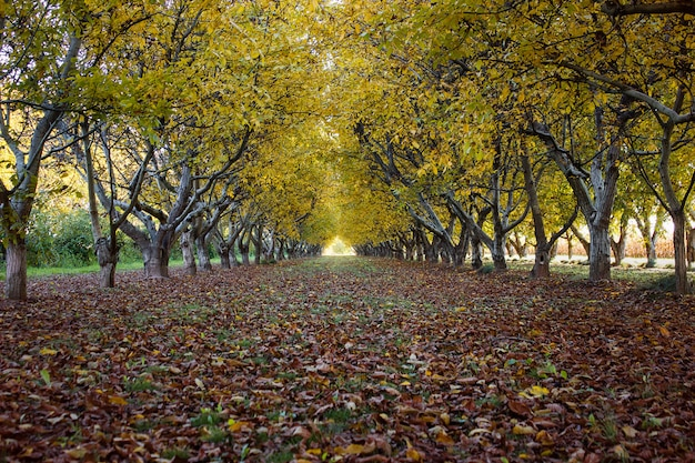 Grove in autumn with golden leaves