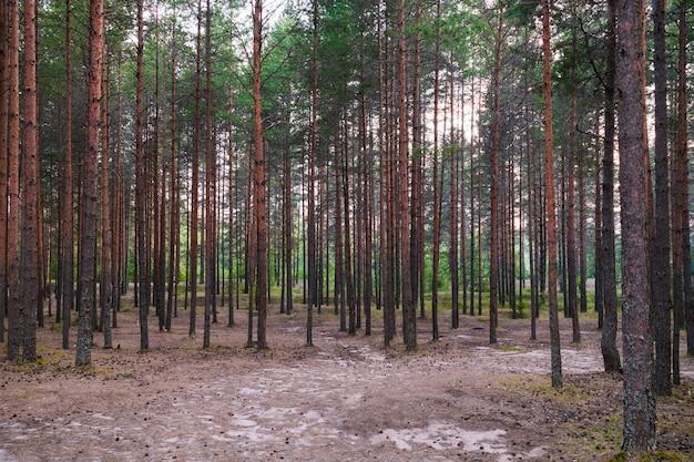 船の松の木立、森の風景