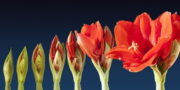 Grow lapse amaryllis time sequence blossom flower