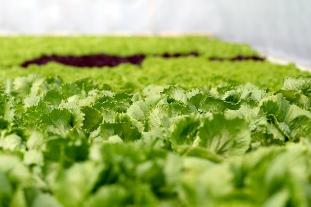 온실 순수 에코 프렌들리 농업에서 샐러드를 재배