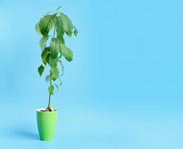 Выращивание авокадо из семян, выращенных на дому концепции сада.