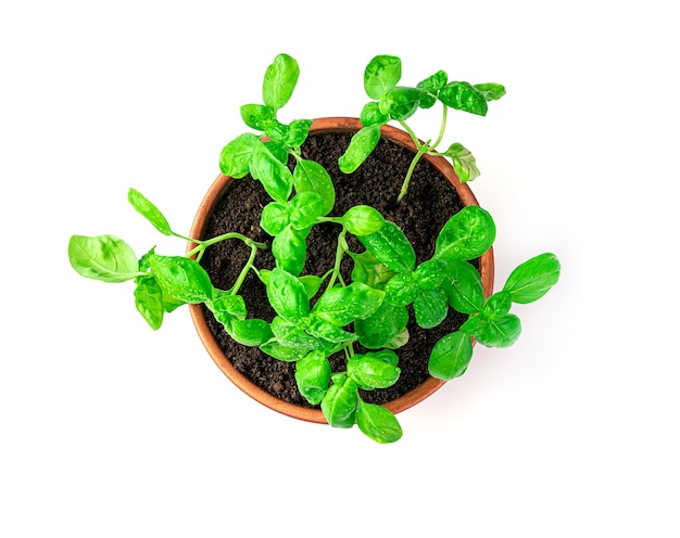 A growing basil in a pot is isolated on a white background. top view.