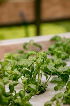 수경 시스템에서 성장하는 바질과 허브, 암면으로 만든 씨앗 꼬투리. 채식주의 자 및 건강한 식생활 개념. 싹이 트는 씨앗, 마이크로 그린.