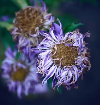 Growing blooming blue aster flowers, top view