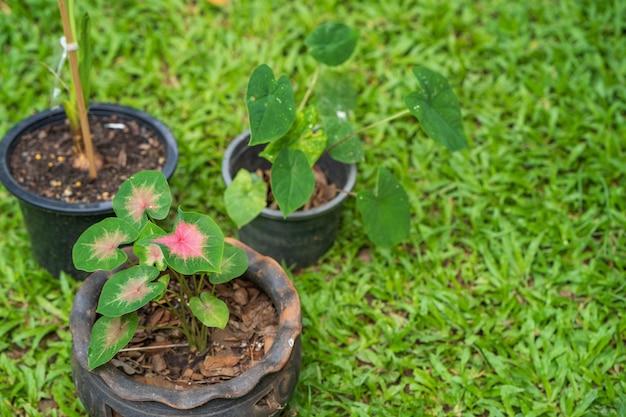 Выращивание каладиума двухцветного в горшке