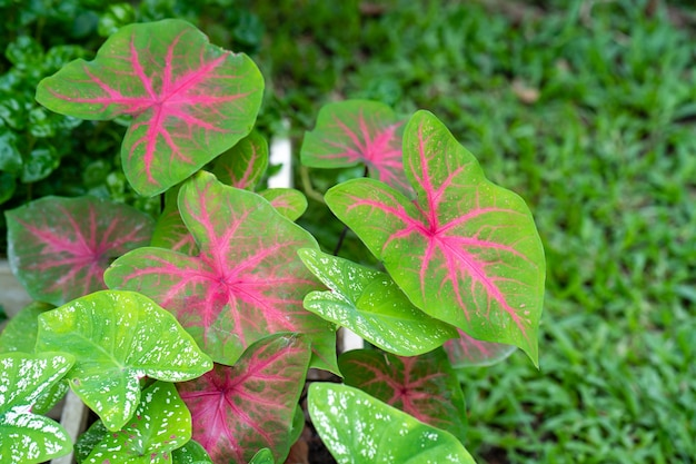 Growing caladium bicolor leaves for growing australian rose apple leaves against nature background
