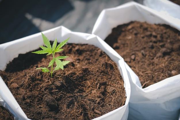 야외 농장에서 대마초 마리화나 허브 식물 성장
