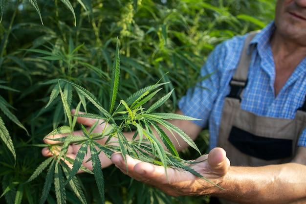 Выращивание каннабиса или конопли для альтернативной медицины