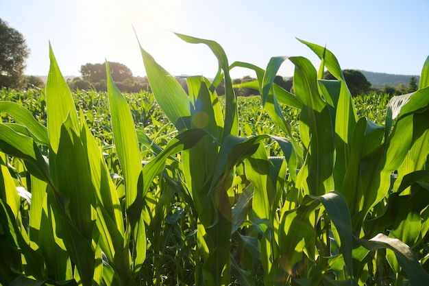 Growing corn field in sunset. green corn leaves with backlight sun.