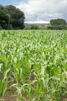 뒤와 bue 하늘에 나무와 옥수수 밭을 성장. 농업 조경