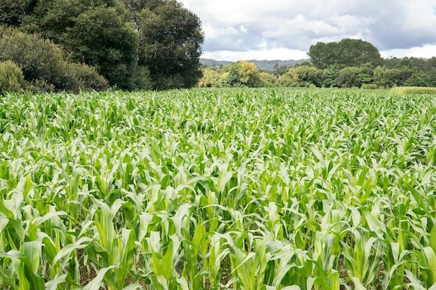 다시와 흐린 하늘에 나무와 옥수수 밭을 성장. 농업 조경