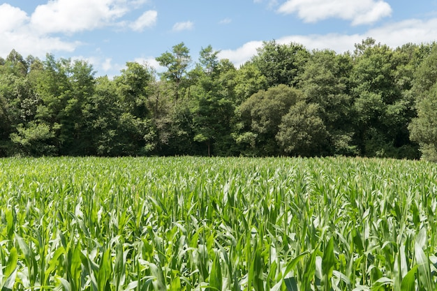 Growing corn field with trees at the back and bue sky. agricultural landscape