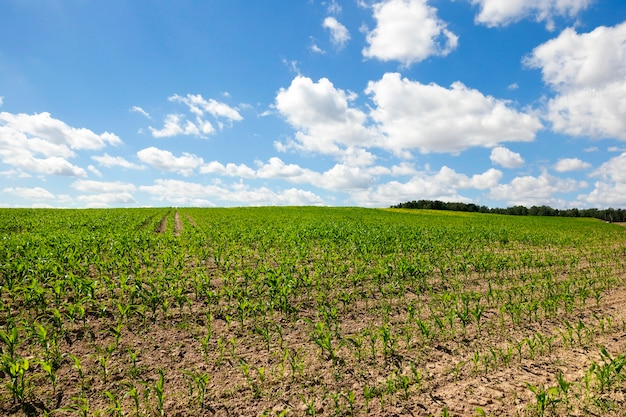 Growing in the field of green maize in the ranks. photo close-up. soil over a blue sky with clouds