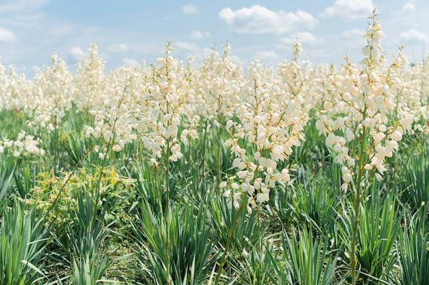 유카 배경의 성장하는 분야. 장식 꽃 부시입니다. 여름 공원에서 흰 꽃입니다.