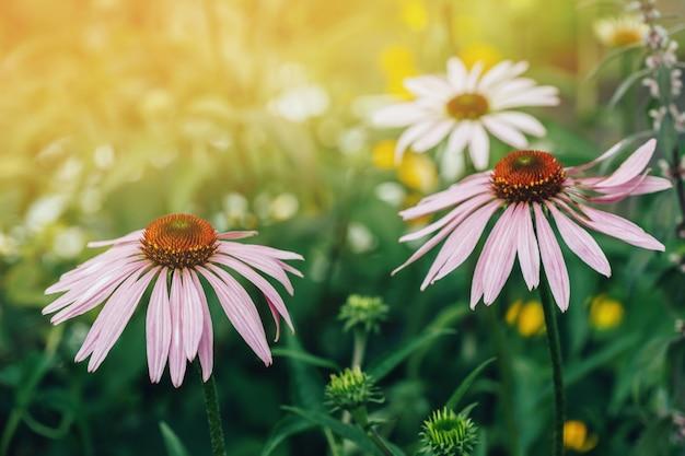 日当たりの良い庭でエキナセアプルプレア、紫コーンフラワーの成長花