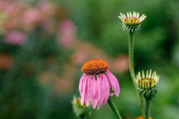 エキナセアプルプレアの成長花