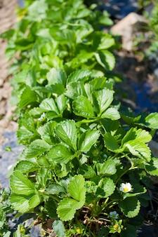 Growing frield of strawberries
