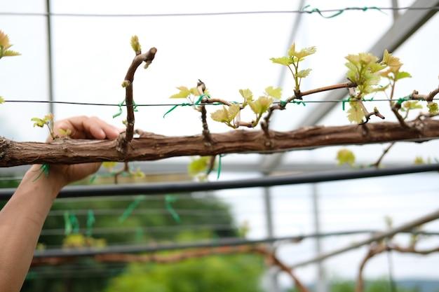 ブドウ園の農場でグレープフルーツの植物の木を育てる
