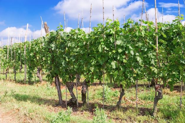 イタリアのブドウ栽培