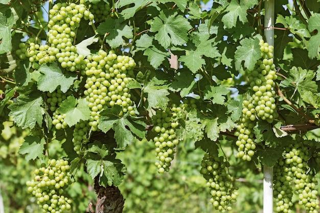 Growing grapes in italy in piedmont region near alba.